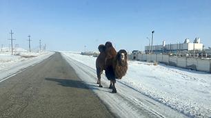 Ein Kamel in Baikonur