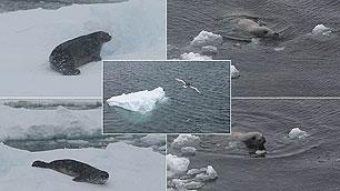 Robben, ein Seeleopard und ein Polarvogel