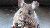 Mäuse in Schwerelosigkeit