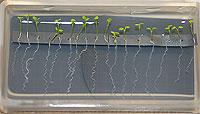 Arabidopsis%2dKeimlinge im BIOLAB%2dContainer