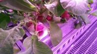 Radieschen vor der Ernte