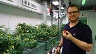 Paul Zabel bei der Tomatenernte