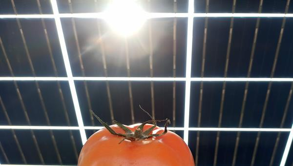 Tomato plant under photovoltaic collector