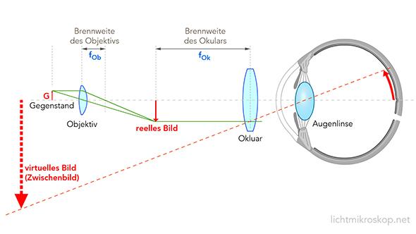 Schema des Strahlengangs von einem Gegenstand durch Objektiv und Okular eines Mikroskops bis zum Augenhintergrund. Bild: lichtmikroskop.net