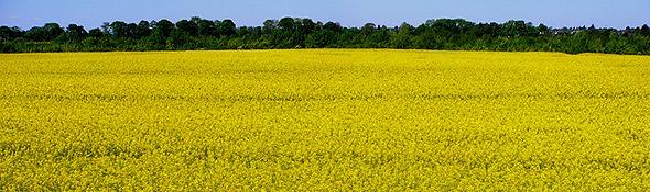 Rapsfelder – Rohstoffquelle für Bio-Sprit. Bild: K.-A.