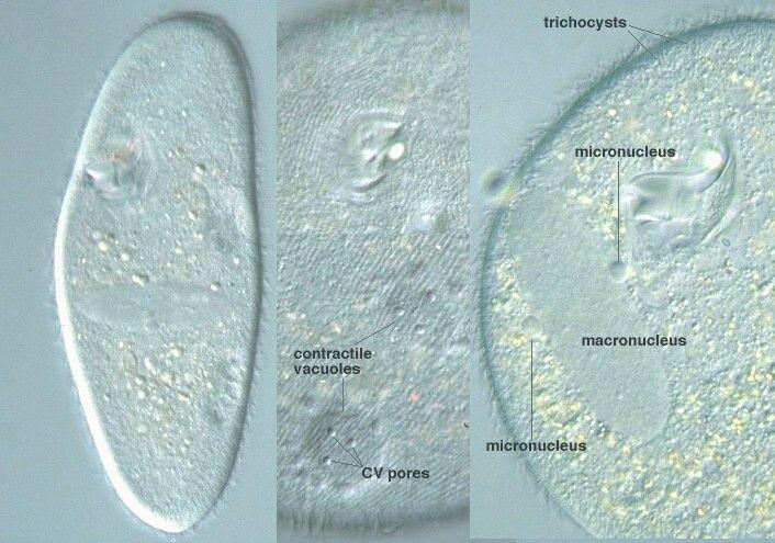 Paramecium Köln