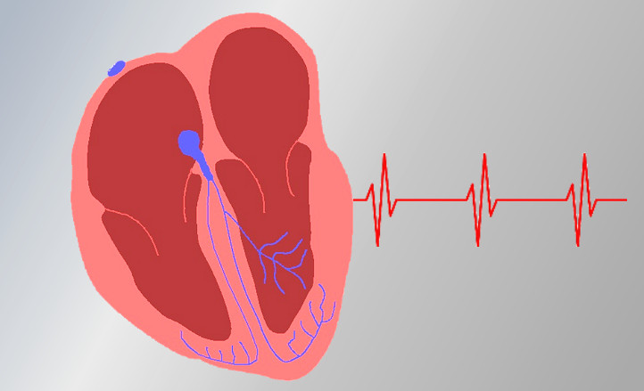 Schematic longitudinal section of a human heart. Credit: DLR